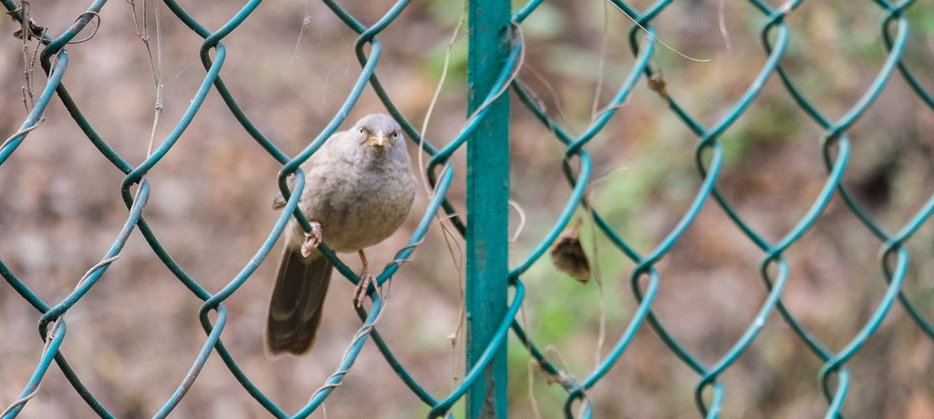 Bird on a chain link fence